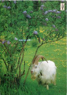 Finland - Buck Goat  #goatvet