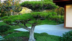 Развитие сосны и формирование побега в процессе цикла развития саженца: формируем Ниваки садовый бонсай