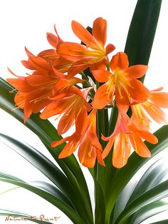 zimmerpflanzen mit blüte   Dieses und andere Blumenbilder der Clivia finden Sie in der ...