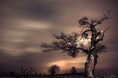 Transylvania tree II