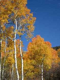 Aspens against blue sky backdrop