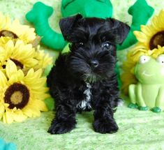 I can't resist a Miniature Black Schnauzer Puppy (or chocolate, or tan or salt and pepper, hmm ANY of them...)