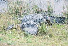 Alligator basking in the sun in the Everglades
