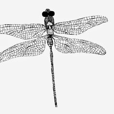 Dragonfly Scientific Drawing Of scientific illustration