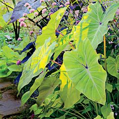 Elephant's Ear Plant Care | Listen up: Make room in your summer garden for the dazzling tropical beauty of elephant's ears. | SouthernLiving.com