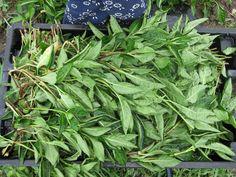 Harvesting Indigo - Growing Indigo Agriculture, Business Ideas, Indigo, Artisan, Fabrics, Museum, Textiles, Patterns, Garden