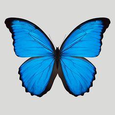 Blue Morpho Butterfly - Trowbridge Gallery