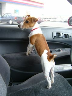 My JRT loves to go anywhere. I assume most JRTs like car rides. Jack Terrier, Parson Russell Terrier, Fox Terrier, Jack Russell Mix, Jack Russell Puppies, Silly Dogs, Cute Dogs, Funny Animals, Cute Animals