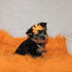 Yorkies For Sale - Buy Teacup Chocolate Yorkie Puppy Sassy Butt Teacup Yorkie For Adoption, Micro Teacup Yorkie, Toy Yorkie, Teacup Poodle Puppies, Teacup Yorkie For Sale, Yorkie Dogs, Tiny Puppies For Sale, Yorkies For Sale, Yorkie Puppy For Sale