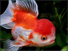 lion head goldfish cuteness!