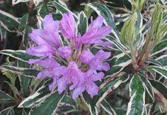 10. Rhododendron ponticum variegatum
