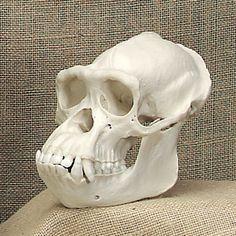 Animal Skeletons, Animal Skulls, Primates, Mammals, Dog Skull, Skull Reference, Animal Bones, Majestic Animals, Skull And Bones