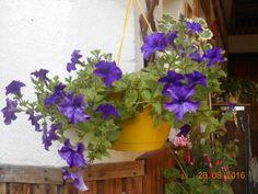 Petunie po ostříhání kvete opět (48 pieces)
