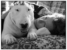 photos english bull terrier