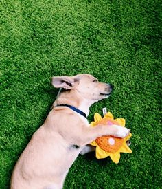 5 Proven Strategies For a Happy Monday (Apartment Therapy Main) Happy Animals, Cute Animals, Dog Rules, Life Inspiration, Happy Monday, The Funny, No Time For Me, Chihuahua, Fur Babies