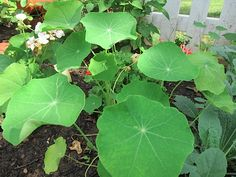 Have you ever tasted Nasturtium flowers? I haven't but I can't wait. Our seeds came up and the leaves are so round and happy.