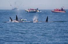 O governo do Japão anunciou na última segunda-feira (30) que retomará as atividades de caça às baleias. Após um ano de suspensão das atividades, as autoridades afirmaram que serão três mês de expedições com o objetivo de caçar 333 baleias minke para estudos científicos.