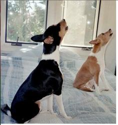Throwing One Back | Community Post: 34 Things That Make Basenjis Happy