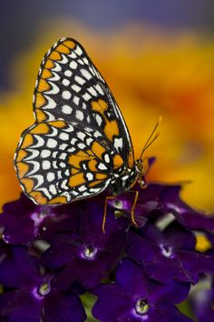 Baltimore Checkered Spot on Verbena Photography by:  Darrell Gulin