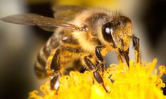 EPA Approves Another Pesticide Highly Toxic to Bees ... Flying in the face of recent science demonstrating that pollinator populations are declining