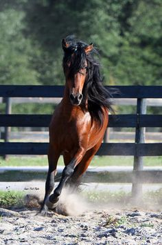 Defensor de la Sierra - Paso Fino, this looks similar to the mare I am thinking about buying. Most Beautiful Animals, Beautiful Horses, Horse Adventure, Horse Mane, Types Of Horses, All About Horses, Majestic Horse, Horse World, Sierra