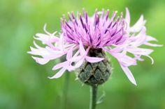 Fleur Cocotier