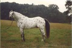 Appaloosa German Classic Pony stallion Farbenfroh's ...