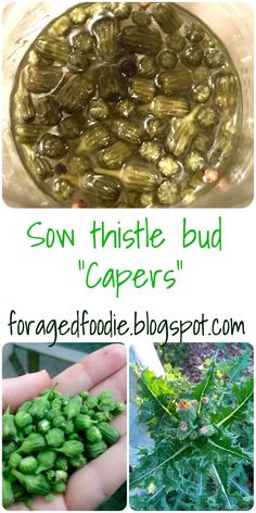 Foraged Foodie: capers made from pickled sow thistle buds. Eat your invasive weeds! #foraging #invasive #eattheweeds