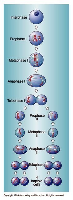 meiosis - cell division necessary for sexual reproduction in eukaryotes, such as animals, plants and fungi. The number of sets of chromosomes in the cell undergoing meiosis is reduced to half the original number, typically from two sets (diploid) to one set (haploid). The cells produced by meiosis are either gametes (the usual case in animals) or otherwise usually spores from which gametes are ultimately produced (the case in land plants). Study Biology, Biology Lessons, Cell Biology, Ap Biology, Teaching Biology, Science Biology, Science Education, Life Science, Physical Science