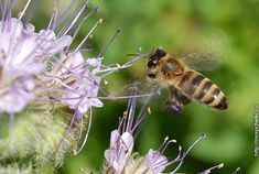 Пчела на подлете к цветку фацелии