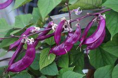 Hyacinth vine