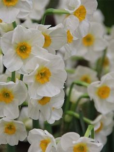 Daffodil Laurens Koster available at LivingGardens.com