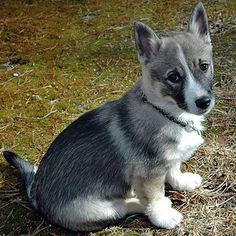 These rare dogs love human attention and are very devoted to their owners. The Swedish vallhund is also known to be somewhat of a clown. They love to show off and do tricks, like agility, tracking, and flyball.   17 Adorable Dog Breeds You've Never Heard Of And Need To Know About Immediately