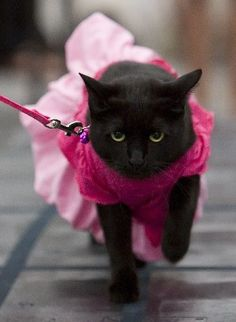 This is a cat in a dress who is also on a leash. Nothing you see today will make less sense.