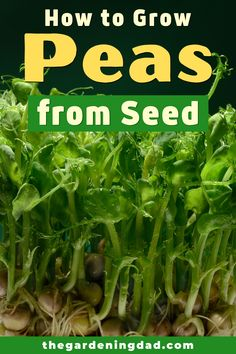 Learn easy and quick tips on How to Grow Peas from Seed.  Tips include how to grow peas from seed, in pots, indoors, along with tips on caring, harvesting, and uses!  #peas #vegetables #gardening Growing Vegetables At Home, Easy Vegetables To Grow, Fruits And Vegetables, Container Gardening, Gardening Tips, Vegetable Gardening, Growing Peas, Flora Farms, Grow Your Own Food