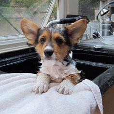 Corgi's are so cute when they take baths!