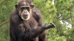 Hundreds of chimps once involved in medical testing now live at a 200-acre sanctuary, experiencing the outdoors for the first time.