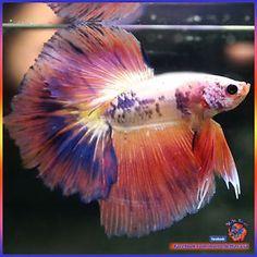 Baby Animals, Funny Animals, Aquarium Maintenance, Beta Fish, Freshwater Aquarium Fish, Live Fish, Beautiful Fish, Pink Marble, Patterns In Nature