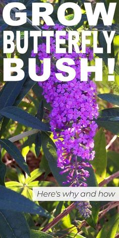 Grow Butterfly Bush! Here's Why (and How!) - Learn why you should grow butterfly bush in your garden. Get tips on how to grow this gorgeous plant! #howtogrowbutterflybush #butterflybush #growbutterflybush #gardening #gardeningideas #purpleflowers #lowwaterplants #lowwaterflowers Gardening For Beginners, Gardening Tips, Gardening Services, Butterfly Bush Care, Grow Butterflies, Butterfly Plants, Garden Shrubs, Garden Landscaping, Flowering Shrubs