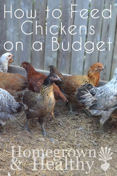 Organic, free-range, homegrown chickens and their eggs can be expensive! But here's 5 tips to help keep costs down: Organic, free-range, homegrown chickens and their eggs can be expensive! But here's 5 tips to help keep costs down Keeping Chickens, Raising Chickens, Backyard Farming, Chickens Backyard, Chicken Coup, Chickens And Roosters, Leghorn Chickens, Meat Chickens, Chicken