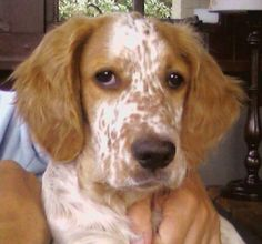 Ginger, the English setter puppy