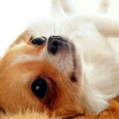 Effective Potty Training Chihuahua Consistency Is Key Ideas. Brilliant Potty Training Chihuahua Consistency Is Key Ideas. Teacup Chihuahua, Chihuahua Puppies, Cute Puppies, Cute Dogs, Dogs And Puppies, Chihuahuas, Doggies, Labradoodle, Baby Animals