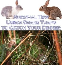 Survival Tips Using Snare Traps to Catch Your Dinner (Primitive Skills) - Homesteading - The Homestead Survival.Com