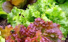 Frequently harvested crops like lettuce need regular fertilizing.
