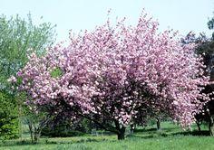 Print PDF Cerisier Le cerisier est l'un des fruitiers les plus courants de nos vergers. La plantation, l'entretien et la taille sont autant de gestes qui vous permettront d'avoir une belle récolte de cerises. En résumé, ce qu'il faut savoir : Nom : Prunus...