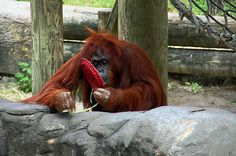 Orangutan Photograph Photography by Aimee L Maher http://aimee-maher.artistwebsites.com/featured/orangutan-aimee-l-maher.html