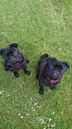 Stan and Nesta Why do you want a black pug?