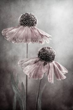 Philocaly - Helenium by Mandy Disher