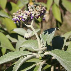 Bugweed | Solanum mauritianum