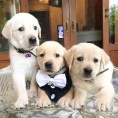 Funny Labrador Puppies Compilation - by Labrador World Golden Retrievers, Labrador Retrievers, Retriever Puppy, Lab Puppies, Cute Puppies, Dressage, Husky Corgi, Pet Dogs, Dog Cat